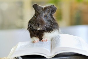 bigstock_guinea_pig_reading_26347682